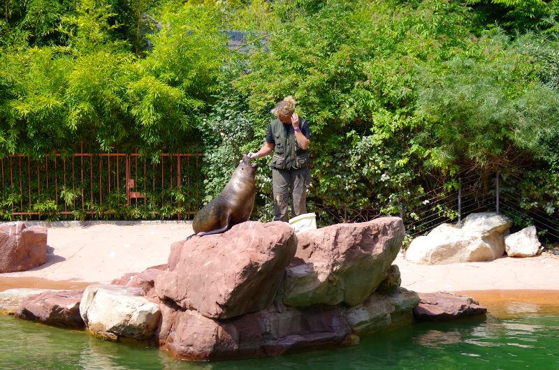 Otarie au Parc zoologique et botanique de Mulhouse
